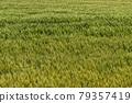 Wheat field near harvest 79357419