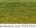 Wheat field near harvest 79357420