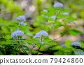 雨季在山間綻放美麗花朵的小繡球 79424860