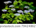 雨季在山間綻放美麗花朵的小繡球 79424862
