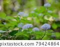 雨季在山間綻放美麗花朵的小繡球 79424864