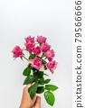 bloom, blossom, blossoms 79566666