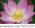 lotus, bloom, blossom 79572297