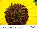 In the middle of sunflower 79572522