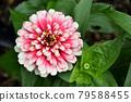 dahlia, dahlias, bloom 79588455