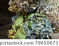 Dried flower of hydrangea 79650673