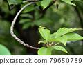 damselfly, cherry tree in leaf, dragon-fly 79650789