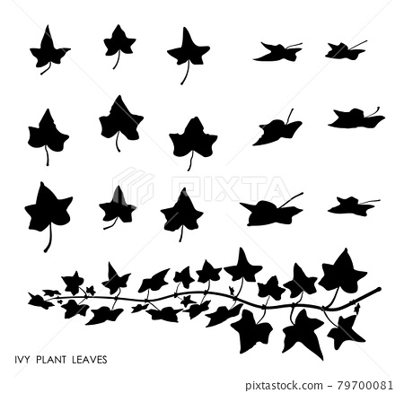 Black thin IVY liana grass leaves silhouettes isolated on white. Climbing thin plant. Autumn fallen field grass leaves. Stencil vector 79700081