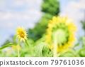 Sunflower blooming full of energy 79761036