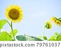 Sunflower blooming full of energy 79761037