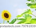 Sunflower blooming full of energy 79761039