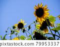 sunflower, sunflowers, bloom 79953337