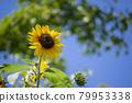 sunflower, sunflowers, bloom 79953338