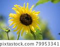 sunflower, sunflowers, bloom 79953341