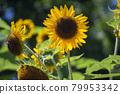 sunflower, sunflowers, bloom 79953342