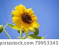 sunflower, sunflowers, bloom 79953343
