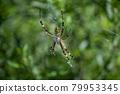 orb-weaving spider, spider, bug 79953345