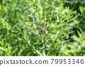 orb-weaving spider, spider, bug 79953346
