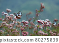 chestnut tiger butterfly, thoroughwort, flower 80275839