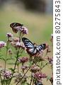 chestnut tiger butterfly, thoroughwort, flower 80275843