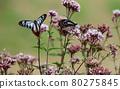 chestnut tiger butterfly, thoroughwort, flower 80275845