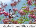 chestnut tiger butterfly, thoroughwort, flower 80275847
