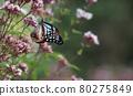 chestnut tiger butterfly, thoroughwort, flower 80275849