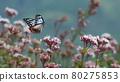 chestnut tiger butterfly, thoroughwort, flower 80275853