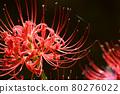 cluster amaryllis 80276022