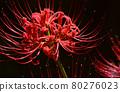 cluster amaryllis 80276023