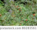 樹莓 80283561
