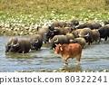 晴朗的午後,牛群一隻接著一隻準備渡河行進。 80322241