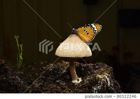 一隻樺斑蝶停駐在一朵蕈菇上。 80322246