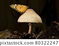 一隻樺斑蝶停駐在一朵蕈菇上。 80322247