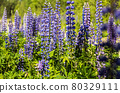 lupin flowers grow in the forest thicket 80329111