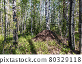 huge anthill in the summer forest, among birches 80329118