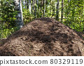 huge anthill in the summer forest, among birches 80329119