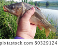 carp caught on fishing in the hand of an angler 80329124