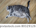 fat British cat is lying on the floor and peeping 80329126