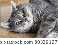British shorthair cat rests on the living room floor 80329127