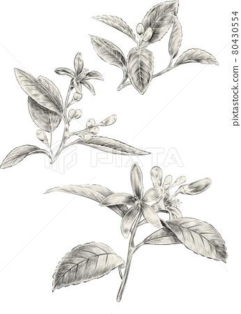 leaf, leafs, leaves 80430554