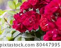 花園裡種的玫瑰花 80447995
