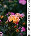 花園裡種的玫瑰花 80447996