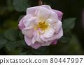 花園裡種的玫瑰花 80447997