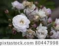 花園裡種的玫瑰花 80447998
