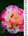 장미 꽃 80487189
