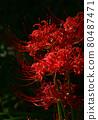 피안 꽃 80487471