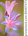 피안 꽃 80487473