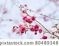 樹枝上盛開的櫻花 80489348