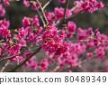 樹枝上盛開的櫻花 80489349